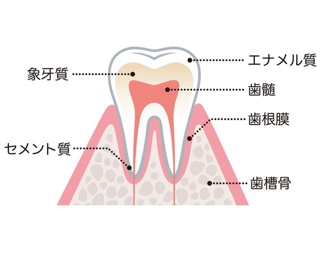歯の神経図