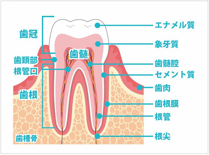 歯の構造と名称
