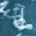 ロイテリ菌